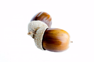 Acorns on white